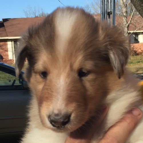 Flynn Rider Male Puppy Akc Rough Collie For Sale Near Lonoke