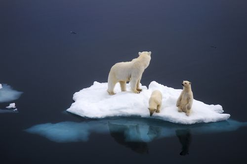 jejustinkumar:    Polar Bear family. [896 595] - Imgur    happy international polar bear day :)  *PLEASE VISIT ~~>  http://www.savethearctic.org     please help stop the oil companies from drilling in the arctic.