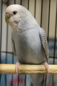 Benbrook~ Jupiter - Parakeet (Other)