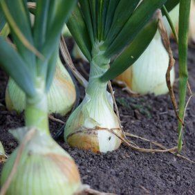 This is a guide about growing onions. With over 600 varieties of onions grown internationally, this versatile vegetable is a staple ingredient in a multitude of recipes and has been used in natural remedies the world over. Learning to grow your own onions can also be fun and save money!