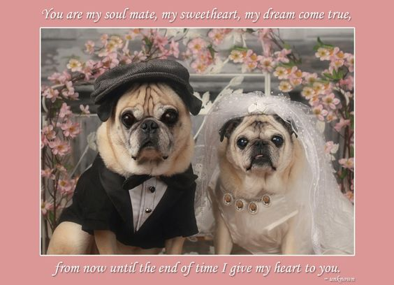 Oliver and Gretta de pug wedding portrait march 2013 by Pugs and Kisses