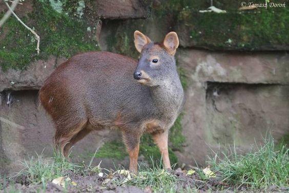 southern pudú (Pudu pudu) doe