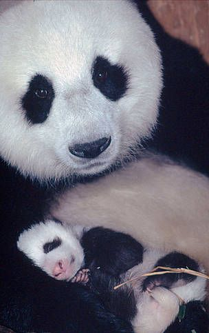A mother's love. Giant panda mother with her 1 month old baby. Wolong Nature Reserve, China