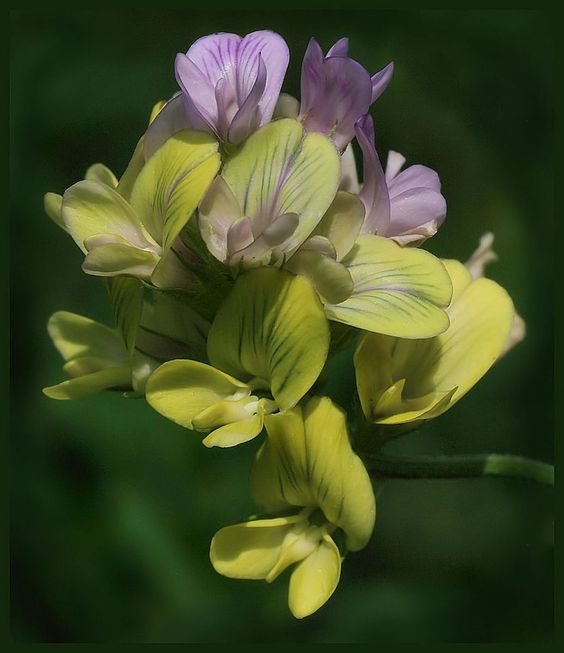 alfalfa colors 3 by barcon53