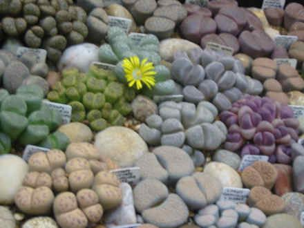 lithops in new zealand