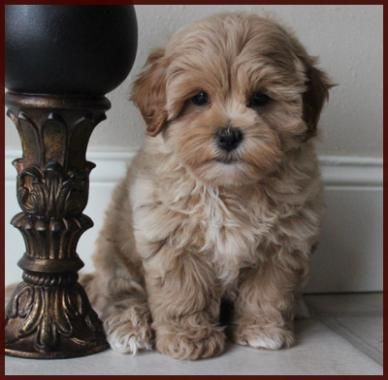 Shichon poo aka Daisy Dog Puppies for Sale|Mixed Breed for Sale|Iowa