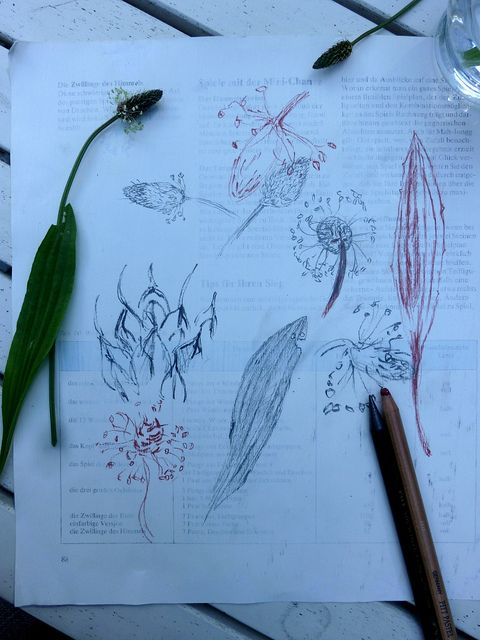 shypetals:  Spitzwegerich zeichnen - drawing ribwort plantain by Ines Seidel on Flickr.