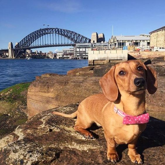 Dapper #Dachshund of Sydney Harbour