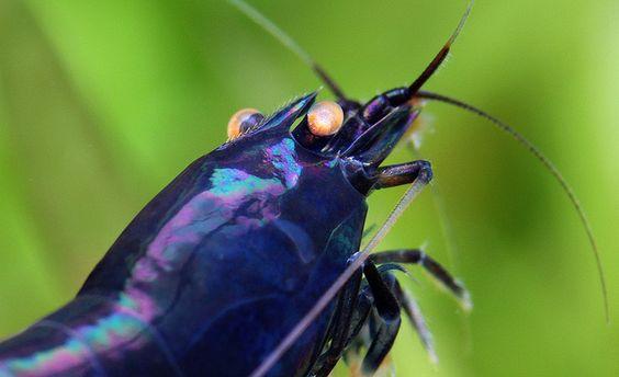 Caridina sp. PBT Sweden by Chris Lukhaup, via Flickr