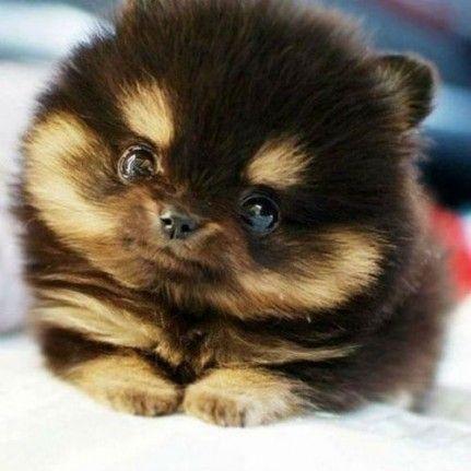 Mini chien : les chiens miniatures comme les Loulous de Poméranie nains et les Chihuahua sont tellement mignons avec leur format de poche et leur allure de peluche qu'on ne peut pas résister à l'envie de les câliner. Coup d'oeil sur 40 minis...
