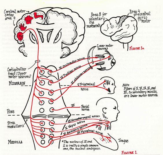 craniale zenuwen