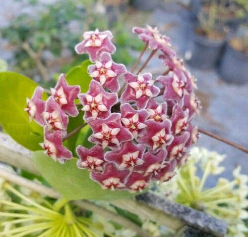 Amazon Com 1 Hoya Pubicalyx Mottled Silver Leaf Adult Wax Plant