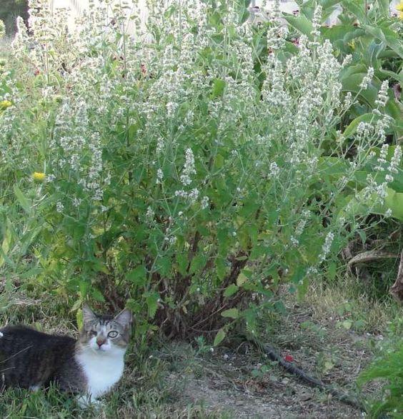 Cultiver Le Cataire Sans Difficulte Cultiver Son Jardin