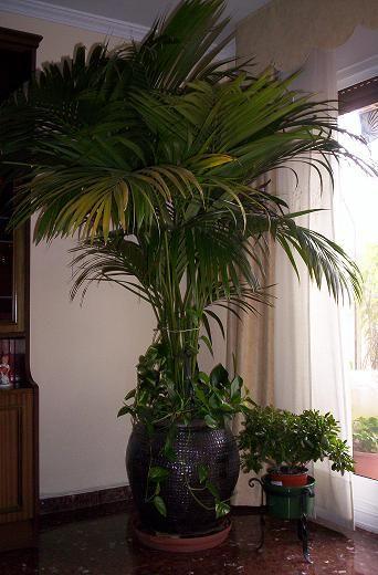 Cuidado y cultivo de palmeras interiores - Plantas de interior cuidados ...