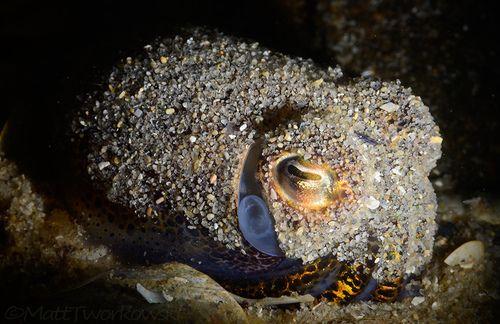 Bobtail Squid by Matt Tworkowski