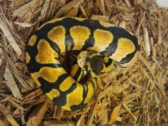 Pastel Mahogany Ball Python- Male