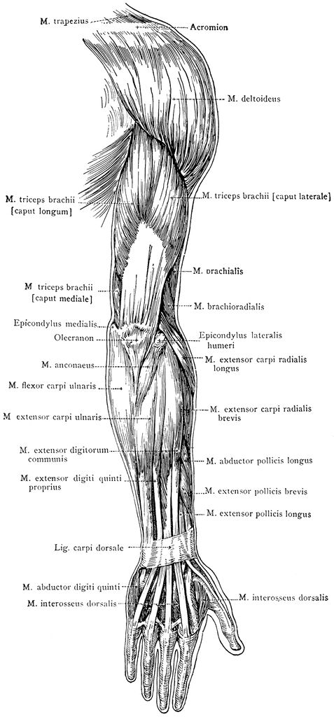 Muscles Of The Arm And Forearm Figure 6 10 Models Anatomy And
