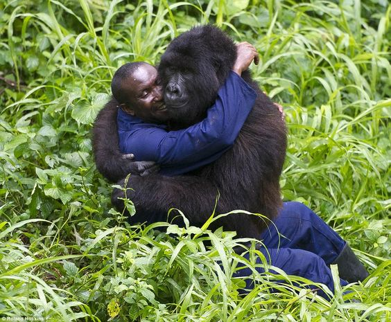 Ranger Andre Baunma with a gorilla who has been orphaned and is now being cared for at the Mikeno Lodge, Virunga National Park