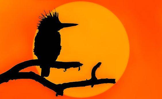 Kingfisher Sunset