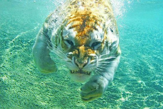Tigre debajo del agua.