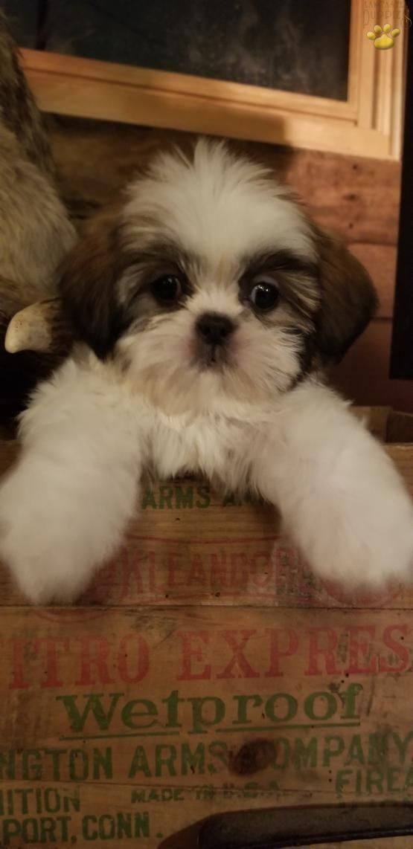 Shihtzu Shihtzupuppy Shihtzudog Shihtzucorner Charming Puppiesofpinterest Pinterestpuppies Lancasterpuppies Pu Shih Tzu Puppy Shih Tzu Dog Shih Tzu