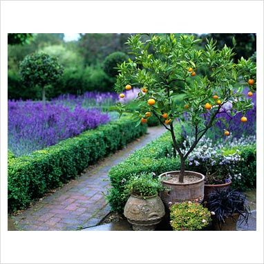 Potted Citrus and lavender