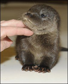 Gorgeous Otter cub rescued by a postman in Scotland.