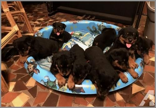 30 Cute Rottweiler Puppies For Sale In Columbus Ga Images