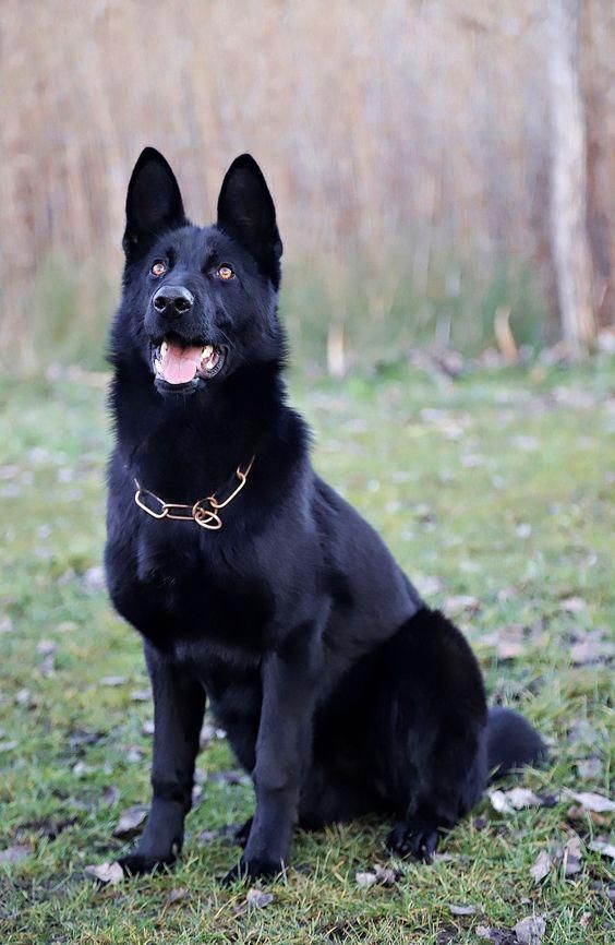 German Shepherd Strong And Loyal With Images Black German Shepherd Dog Black German Shepherd German Shepherd Dogs