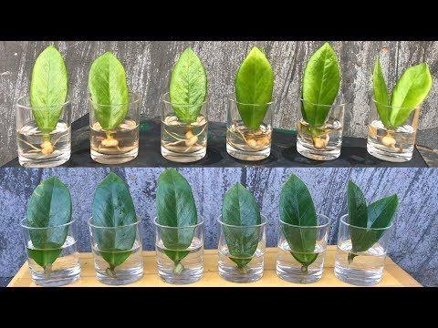 Zamioculcas Zamiifolia Plant Propagate Zz Plant Youtube Propagating Plants Plants Plant Cuttings