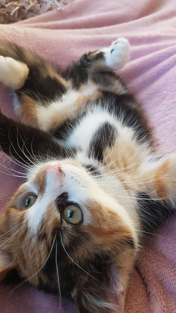 Cat Facts Why Are Calico Cats Almost Always Female Cute Cats