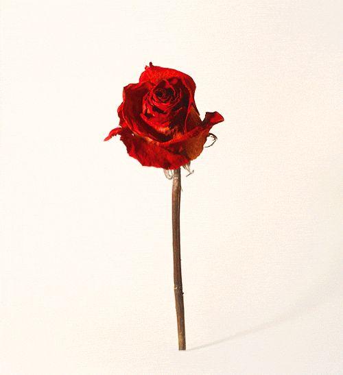 rose #gif