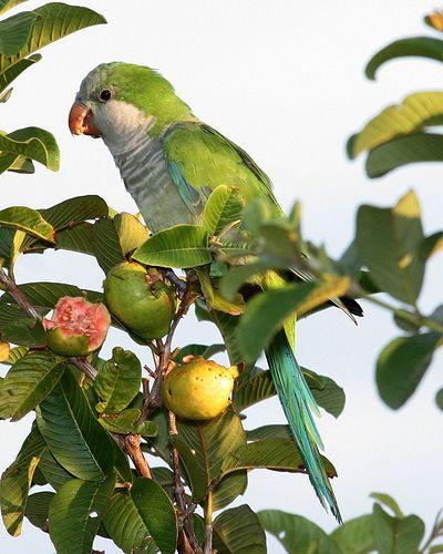 Monk Parakeet (Myiopsitta monachus) by Lip Kee, via Flickr: