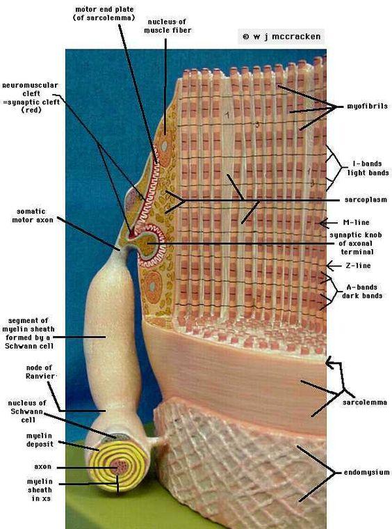 Used anatomy models