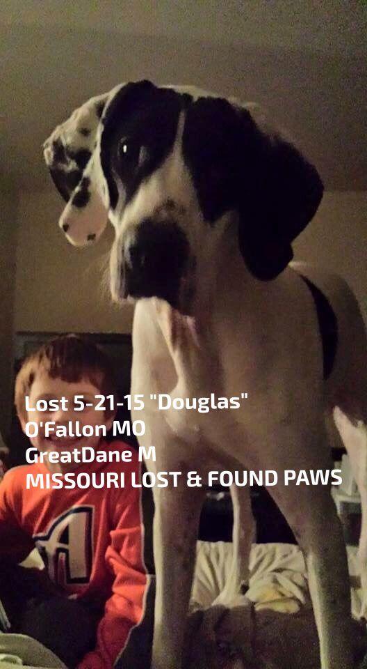 Lostdog 5 21 15 Douglas O Fallon Mo Greatdane M Missouri Lost Found Paws Https Www Facebook Com Missourilostfoundpa Losing A Dog Great Dane Find Pets