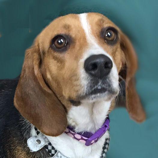 Adopt Star On Beagle Mix Adoption Humane Society