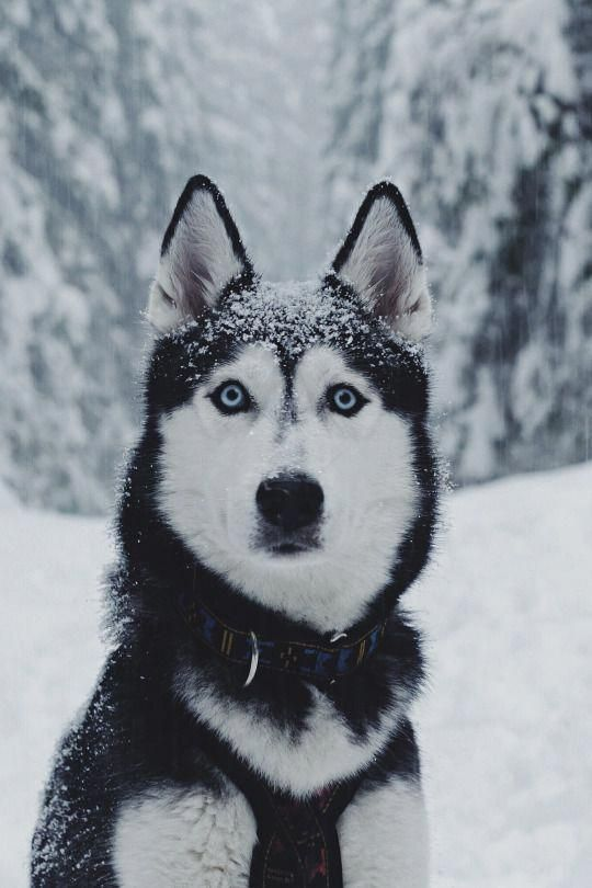 Figure Out Additional Details On Huskies Look Into Our Web Site