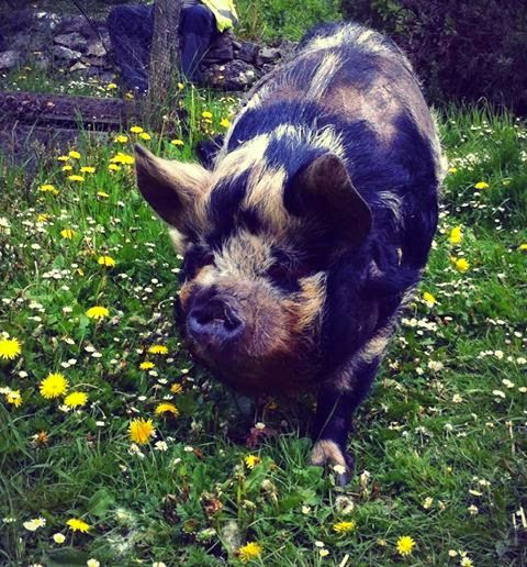 We are experimenting. Instead of cutting the grass using a lawnmower, we're using two Kunekune pigs. We can't see a flaw in our reasoning - as long as they don't escape into the adjacent veg patch...