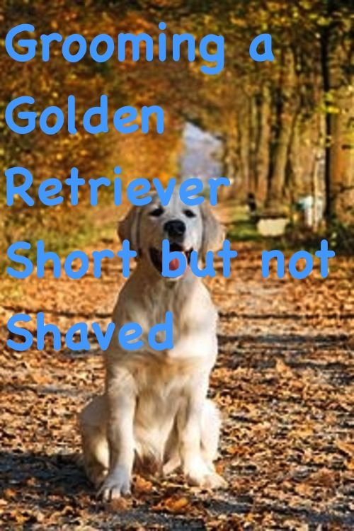 Golden Retriever Golden Retriever Love Golden Retriever Tips
