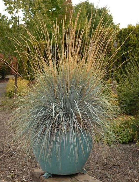 Best ornamental grasses for containers and how to grow for Tall grasses for pots