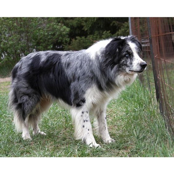 Canada Border Collies Breeders California Border Collies For Sale ❤ liked on Polyvore featuring animals, pets, borders and picture frame