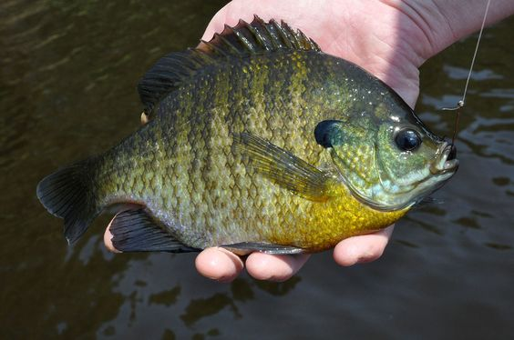 Sight fishing tips for crappie sunfish and bluegill for Bluegill fishing bait