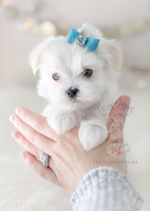 Maltese Puppy For Sale 369 Teacup Puppies Teacup Puppies