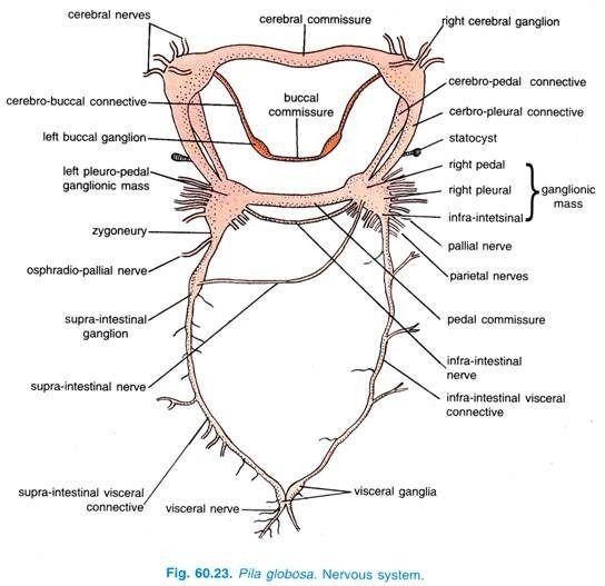 Pila globosa nervous system brain evolution pinterest nervous pila globosa nervous system brain evolution pinterest nervous system and reproductive system ccuart Image collections