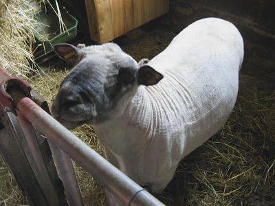 Woll-littles: Zurück zu den Wurzeln ..shropshires Schaf