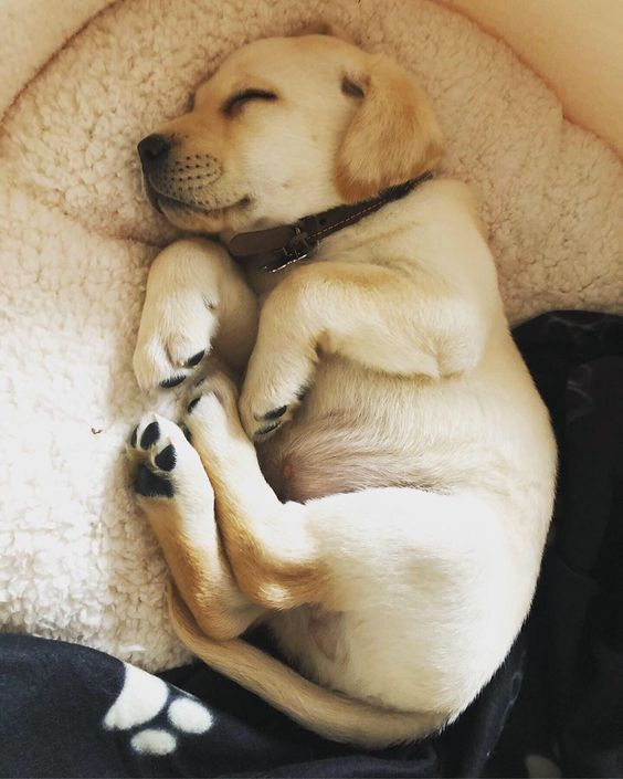 16 Pics Of Golden Retriever To Make Your Day Page 2 Of 3 Petpress Lab Puppies Labrador Retriever Puppies Puppies
