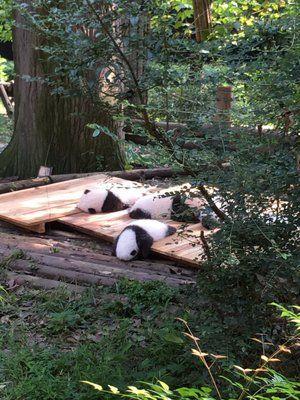 「こっちの垢にもあげちゃう。中国に行ってきたんですけど子パンダがめっっちゃくちゃ可愛かったんですよ」のYahoo!検索(リアルタイム)…