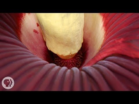 A High Definition Look Into The Rare Corpse Flower Corpse Flower Titan Arum Plants