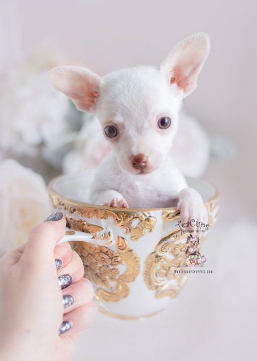 White Chihuahua Puppy For Sale Teacup Puppies 309 Teacup Puppies