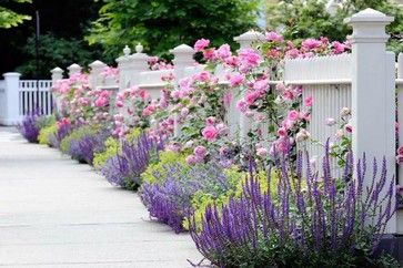White Picket Fence with Climbing English Roses in Heritage, St. Swithun, Mary Rose, Lady's mantle and Salvia 'May Night' hybrid sage. GARDENING.